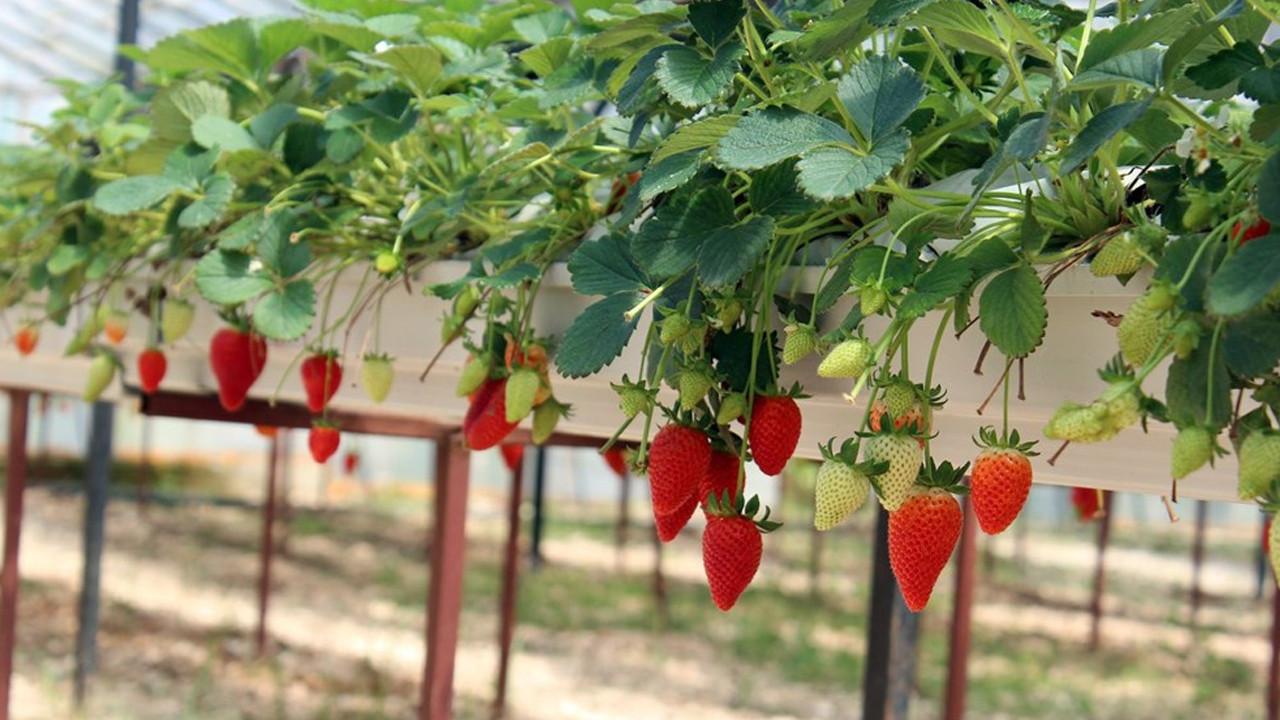 Topraksız tarımla yılda 300 bin lira kazanıyor