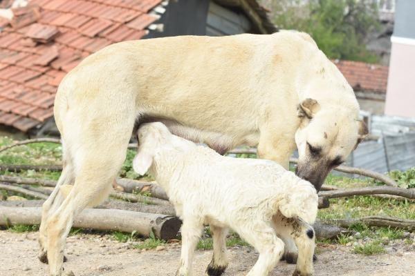 Çoban köpeği, kuzunun süt annesi oldu - Resim: 1