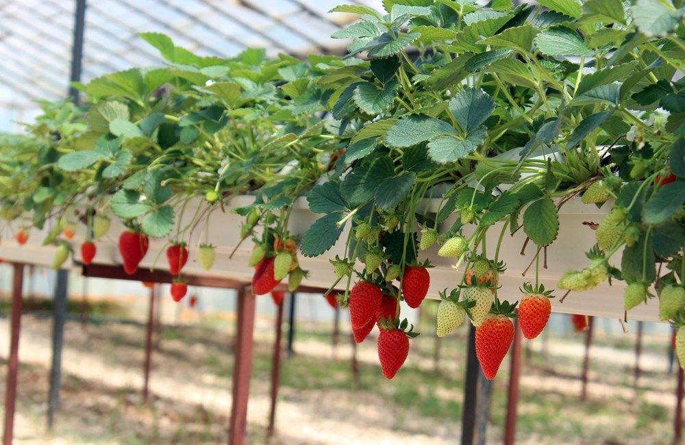 Topraksız tarımla yılda 300 bin lira kazanıyor - Resim: 1