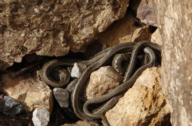 Yer: Hakkari! Sürü halinde dolaşan yılanlar korku saçıyor - Resim: 3