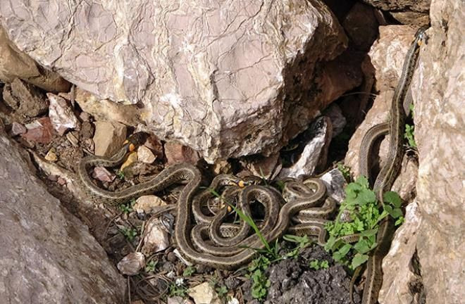 Yer: Hakkari! Sürü halinde dolaşan yılanlar korku saçıyor - Resim: 2