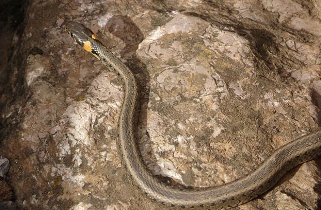 Yer: Hakkari! Sürü halinde dolaşan yılanlar korku saçıyor - Resim: 4