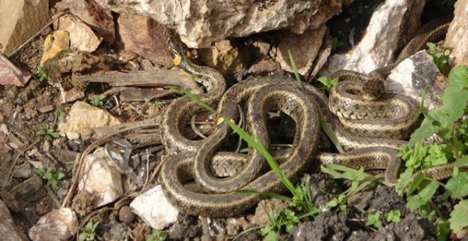 Yer: Hakkari! Sürü halinde dolaşan yılanlar korku saçıyor - Resim: 1