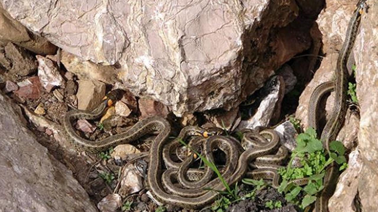 Yer: Hakkari! Sürü halinde dolaşan yılanlar korku saçıyor