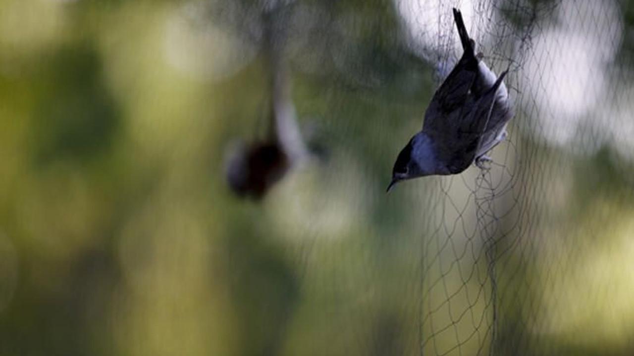 3 bin 500 kuş ''sis ağları''na takıldı
