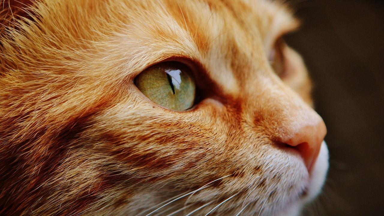 Bu bir ilk! İlk kez bir kedi koronavirüsten öldü!