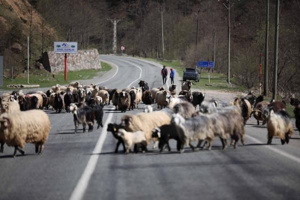 Yayla göçü başladı, kara yolu sürülere kaldı