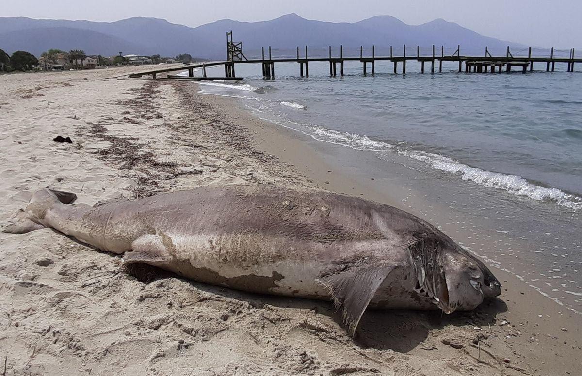 Ender görülen dev köpekbalığı Kuşadası'nda sahile vurdu! - Resim: 2