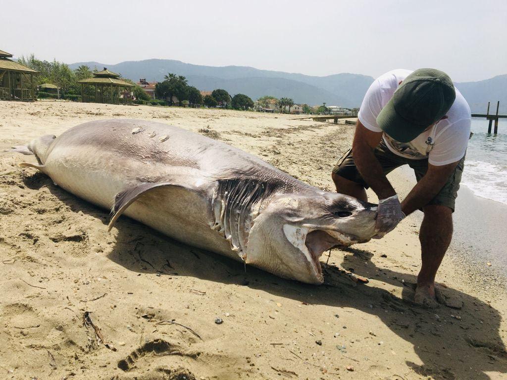 Ender görülen dev köpekbalığı Kuşadası'nda sahile vurdu! - Resim: 3