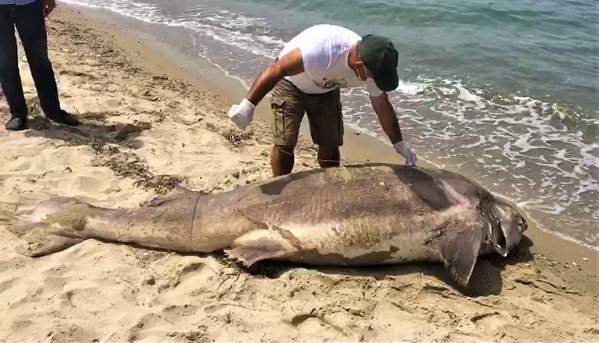 Ender görülen dev köpekbalığı Kuşadası'nda sahile vurdu! - Resim: 4