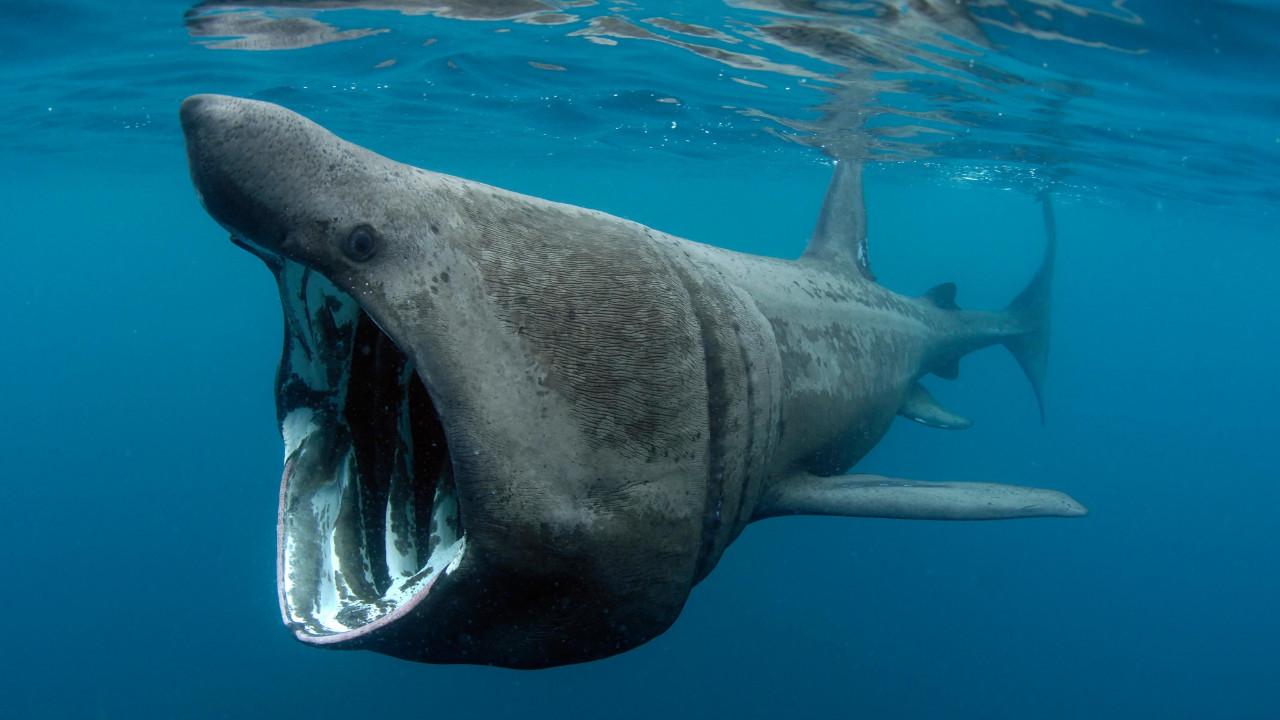Kuşadası'nda ender görülen dev köpekbalığı alarmı!