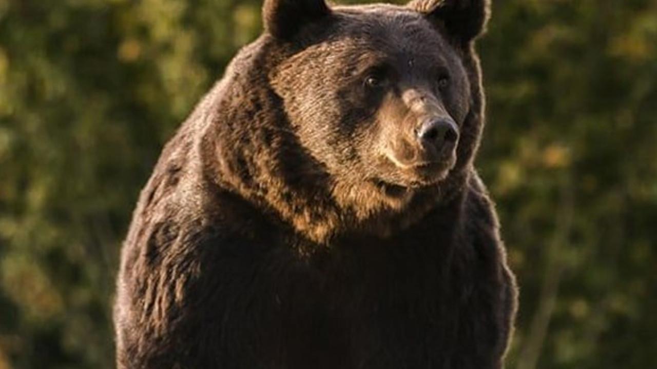 Prens, koruma altındaki Avrupa'nın en büyük boz ayısını öldürdü!