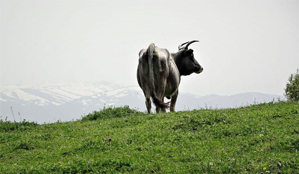 Dağda kurbanlık dana avı! Doğada kendi başlarına yetişiyorlar - Resim: 1