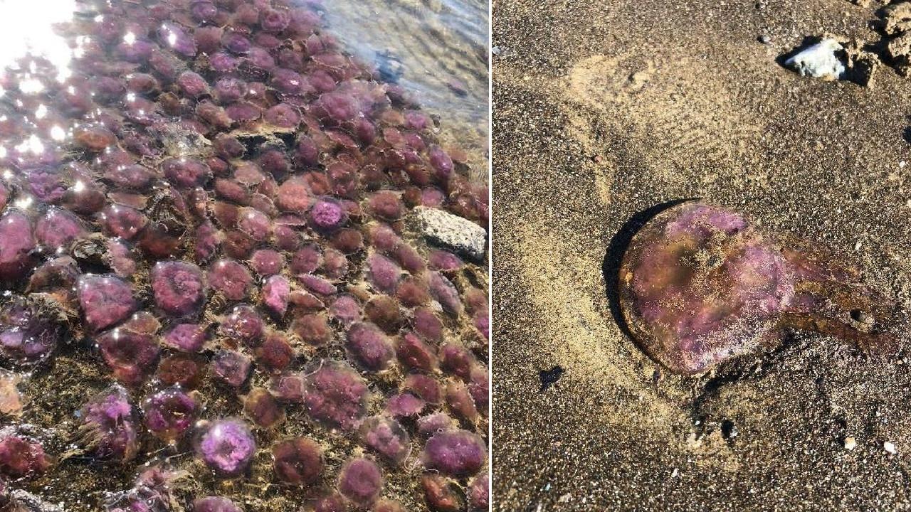 Yüzlerce mor renkli denizanası kıyıya vurdu