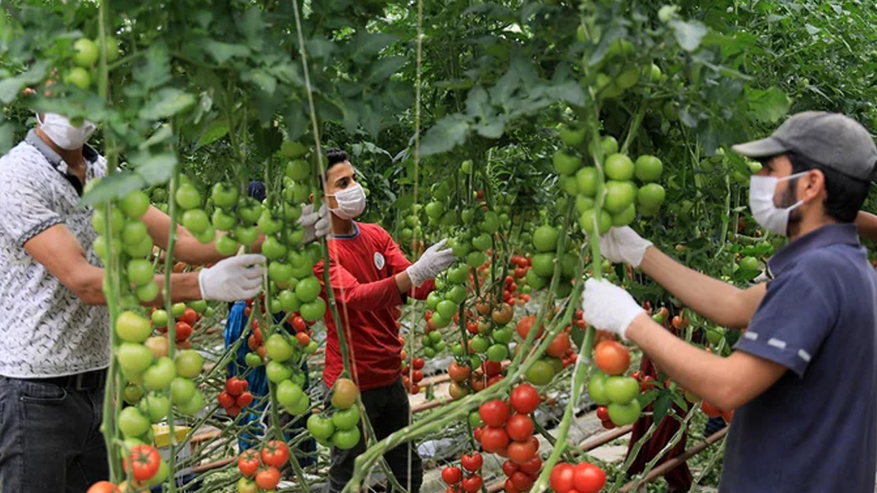 Hindistan cevizi kabuğundan domates üreten çiftçi paraya para demiyor
