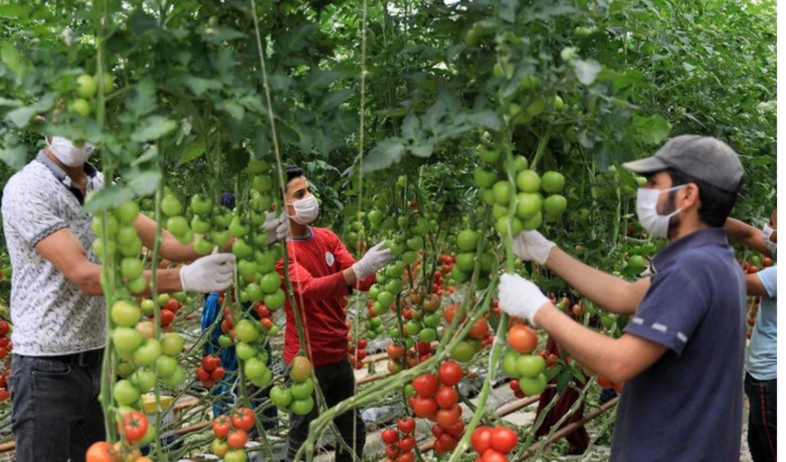 Hindistan cevizi kabuğundan domates üreten çiftçi paraya para demiyor - Resim: 1
