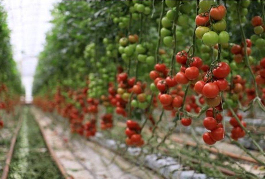 Hindistan cevizi kabuğundan domates üreten çiftçi paraya para demiyor - Resim: 2