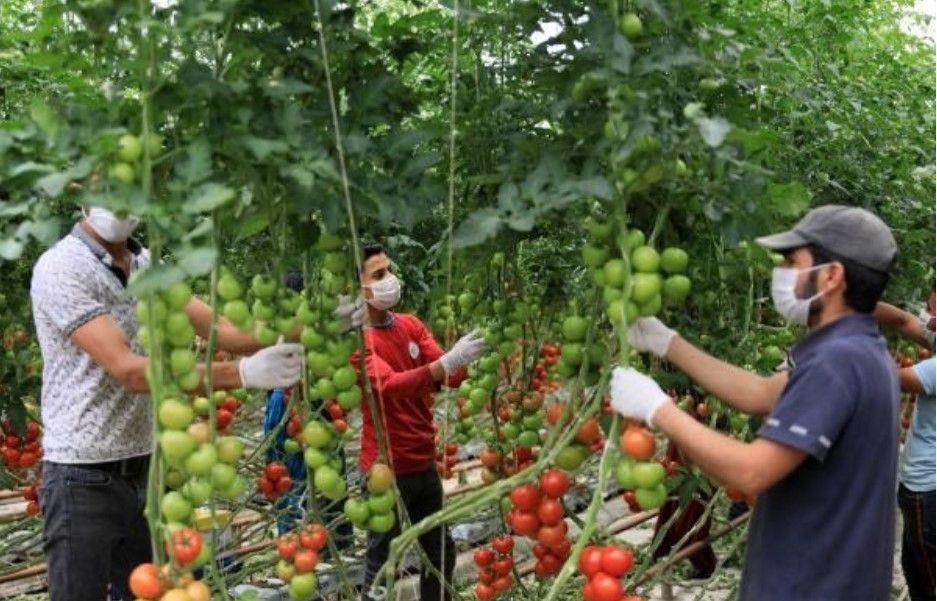 Hindistan cevizi kabuğundan domates üreten çiftçi paraya para demiyor - Resim: 4