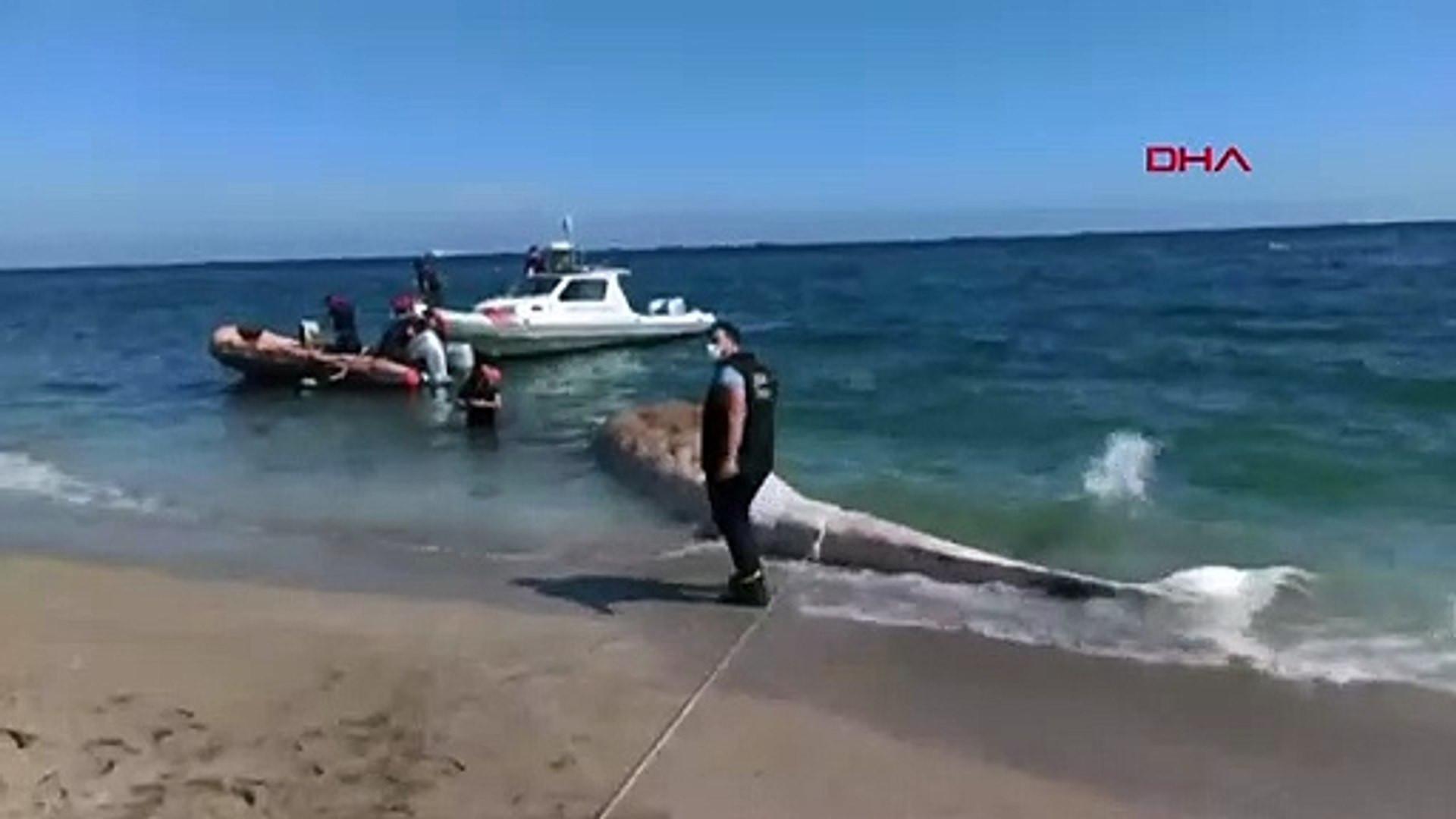 Dev balina Mersin'de sahile vurdu
