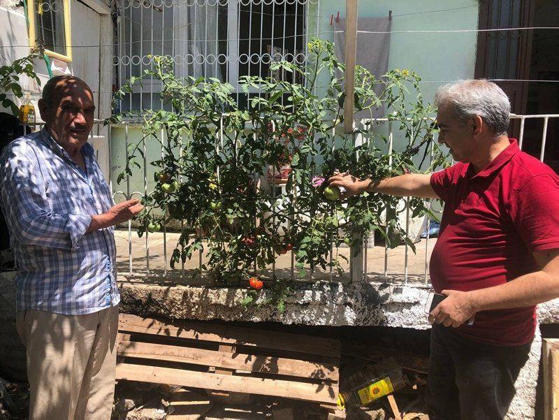 Beton çatlatan domates ilgi odağı oldu - Resim: 1