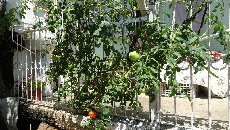 Beton çatlatan domates ilgi odağı oldu - Resim: 2