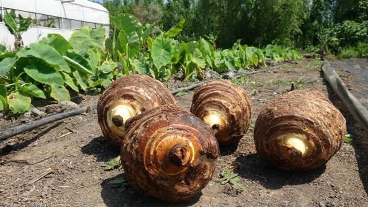 Çiftçinin yeni gözdesi oldu... Dönümde 50 bin TL kazandırıyor
