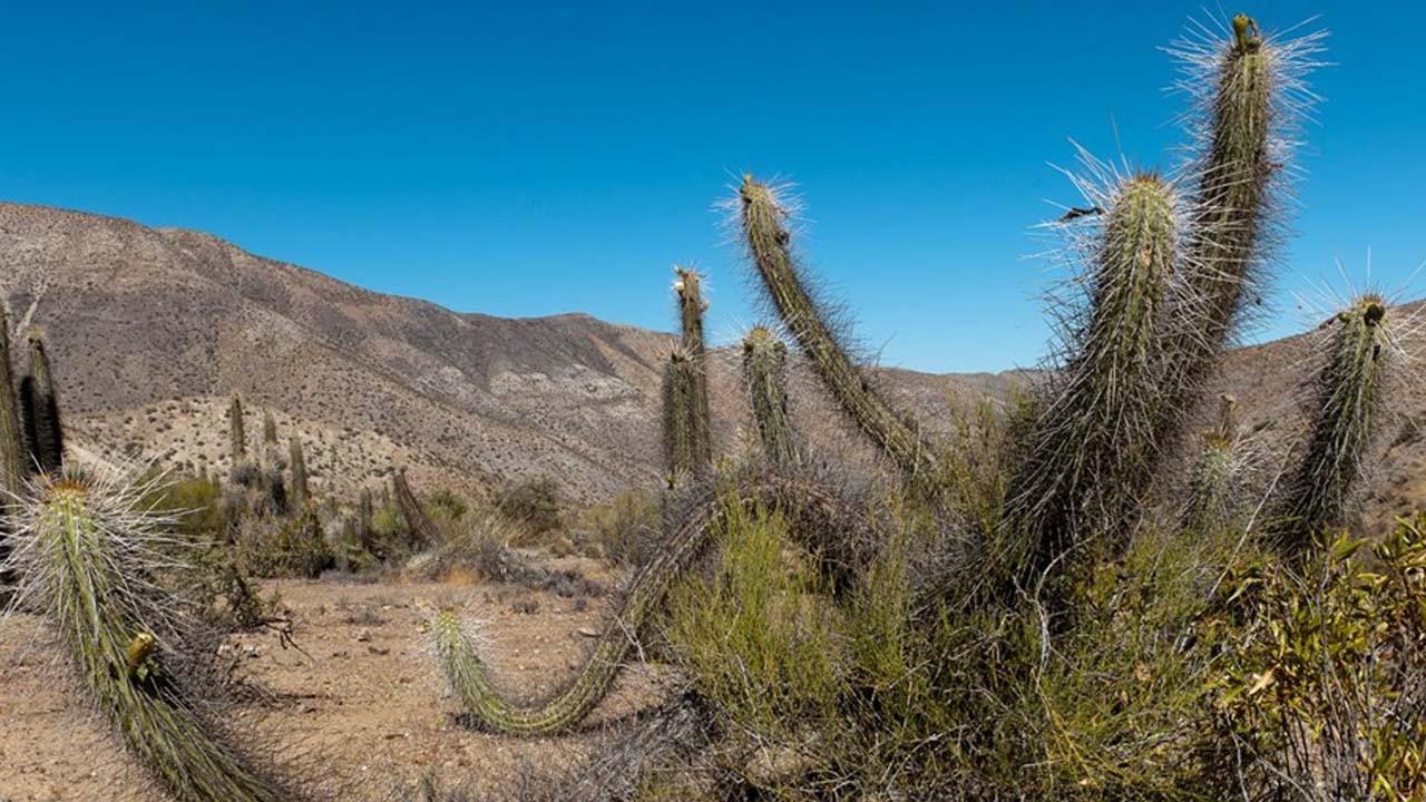 Kaktüs kaçakçıları çöllerde ağaç bırakmıyor