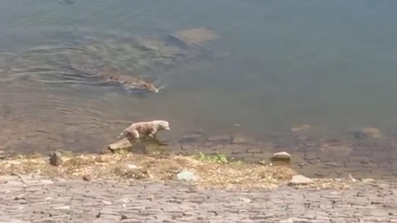 Timsah, suya giren köpeği affetmedi! O anlar kamerada
