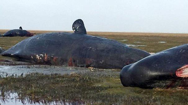 Karaya vuran balinanın karnından öyle bir şey çıktı ki...