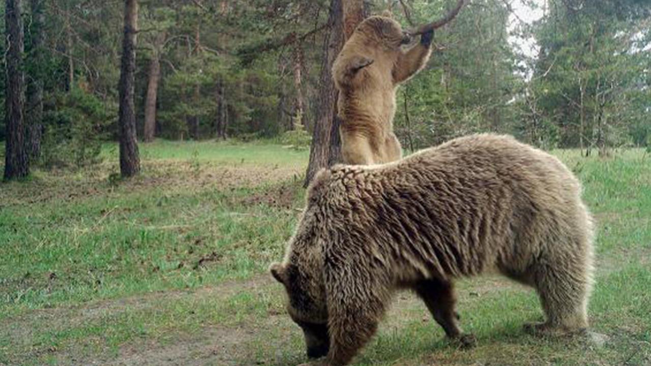Profesörden korkutan sözler: Sayıları artan ayılar, insanlara yönelecek