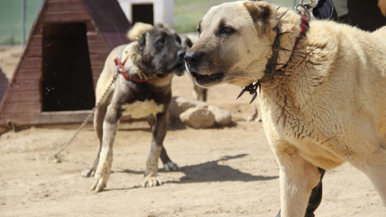 Dünyaca ünlü Kangal köpeklerine yeni görev