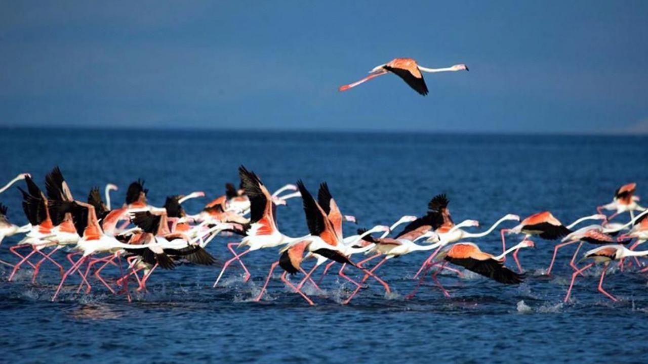 Van Gölü'nde flamingonların dansı büyüledi