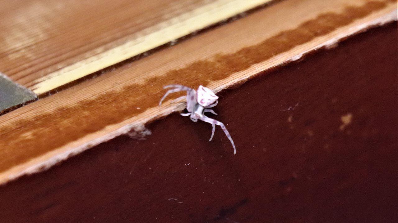 İnsan yüzlü örümcek böyle görüntülendi - Resim: 1
