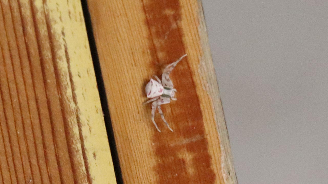 İnsan yüzlü örümcek böyle görüntülendi