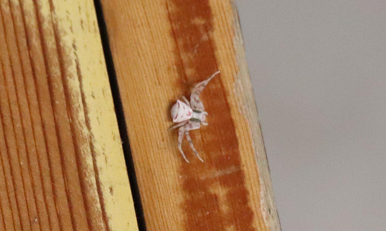 İnsan yüzlü örümcek böyle görüntülendi - Resim: 2
