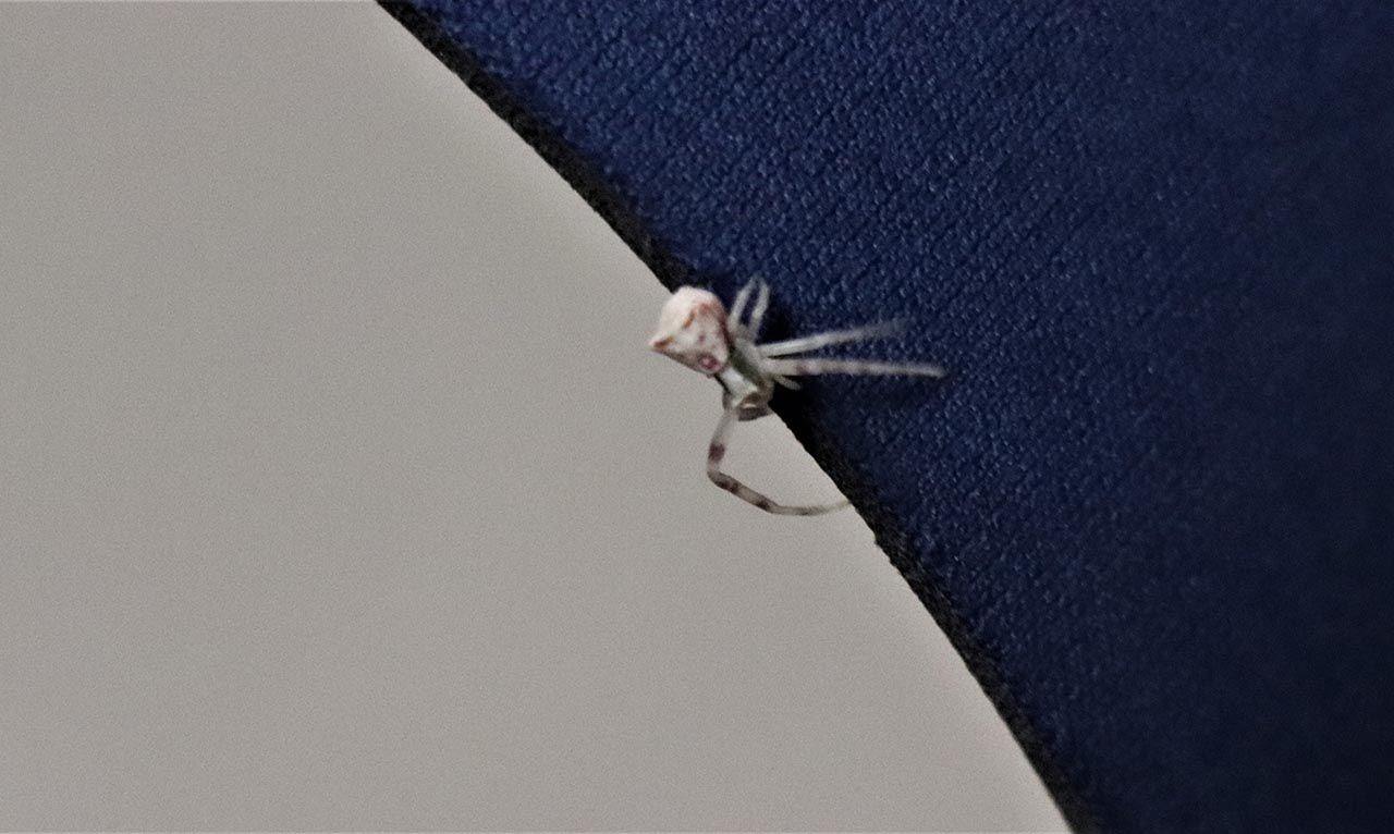 İnsan yüzlü örümcek böyle görüntülendi - Resim: 3