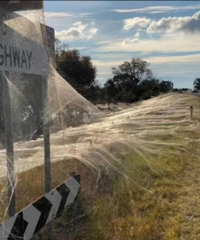 Felaketlerin ardı arkası kesilmiyor: Farelerden sonra örümcekler istila etti - Resim: 1