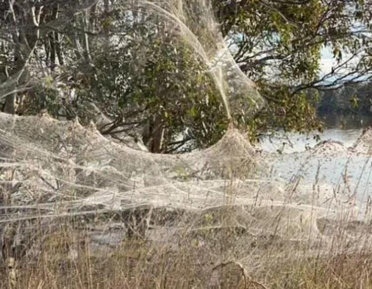 Felaketlerin ardı arkası kesilmiyor: Farelerden sonra örümcekler istila etti - Resim: 2