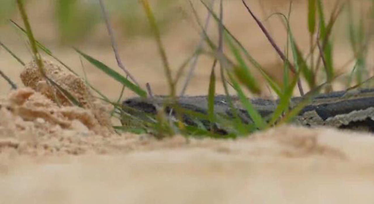 Avlanmak için timsahın yuvasına giren pitonun sonu - Resim: 3