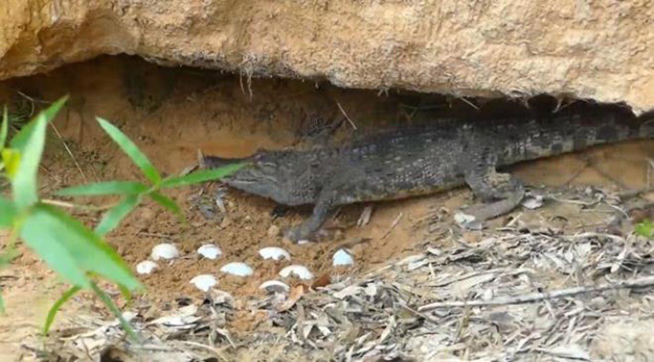 Avlanmak için timsahın yuvasına giren pitonun sonu - Resim: 2