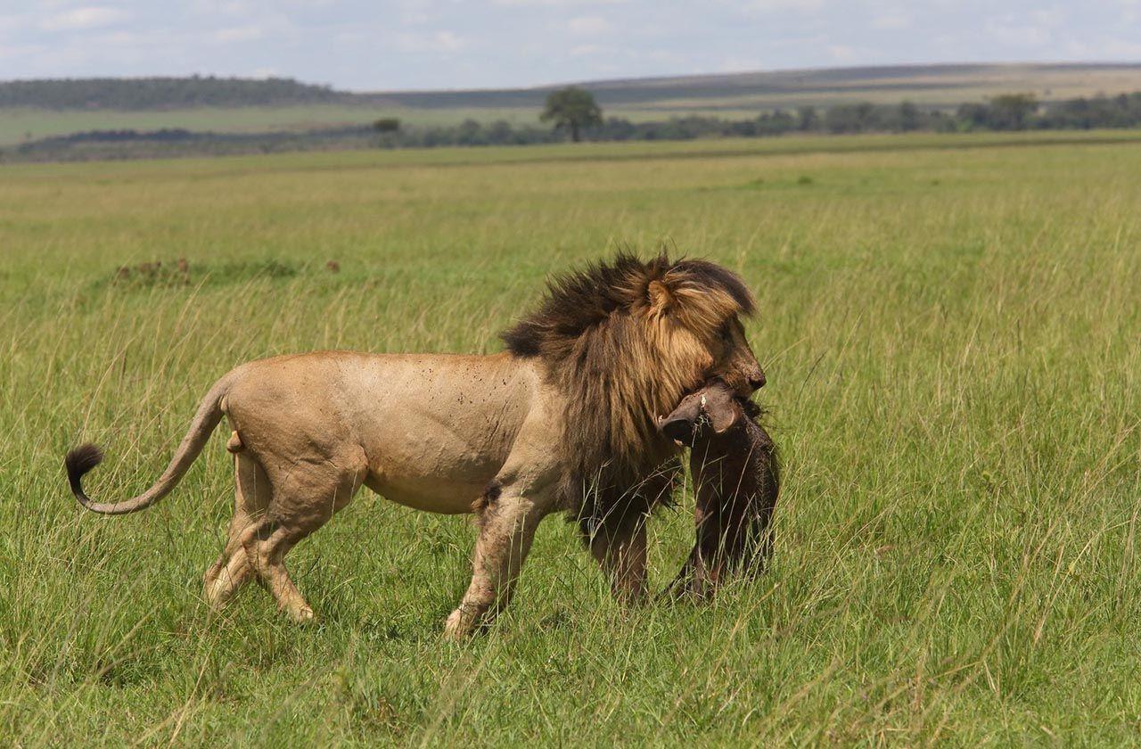 Dünyanın en ünlü aslanı Scarface, hayatını kaybetti - Resim: 2