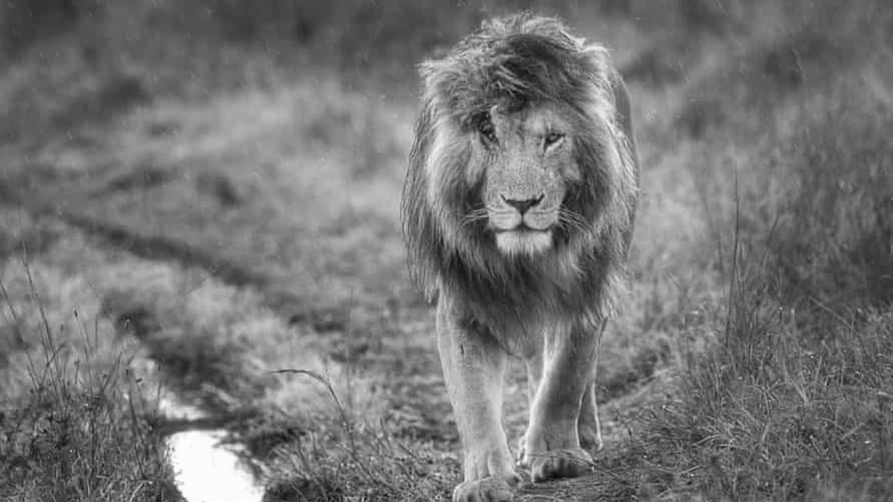 Elveda kral! Dünyanın en ünlü aslanı hayatını kaybetti