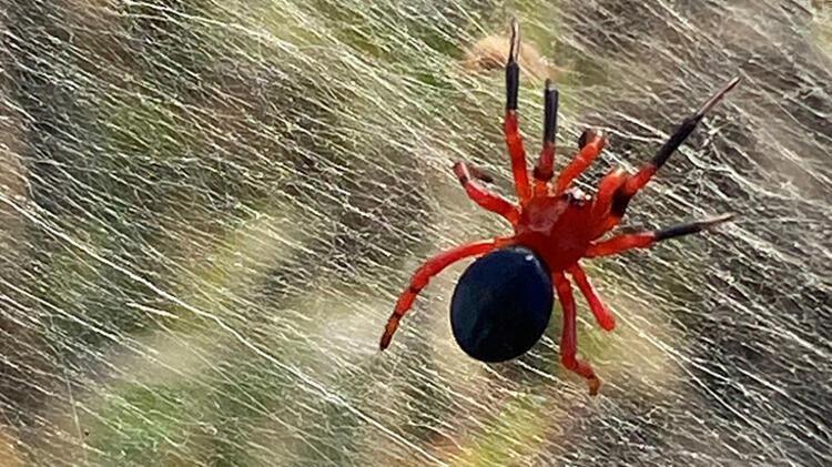 Örümcek istilası: Bir bölgeyi daha esir aldı - Resim: 1
