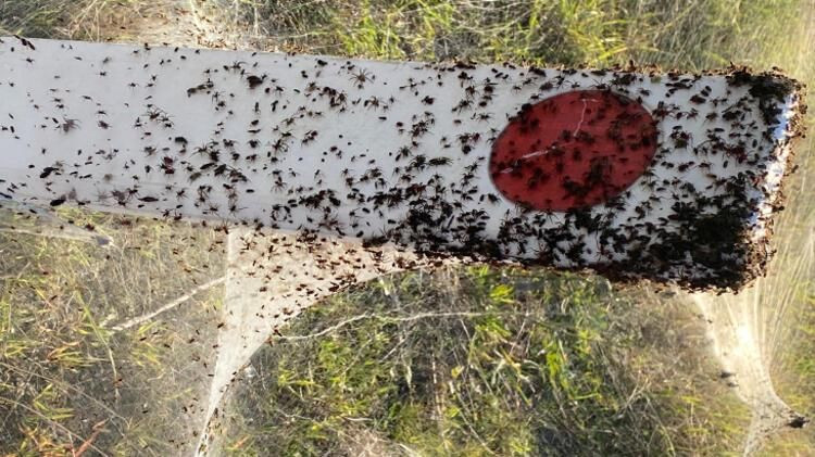 Örümcek istilası: Bir bölgeyi daha esir aldı - Resim: 2