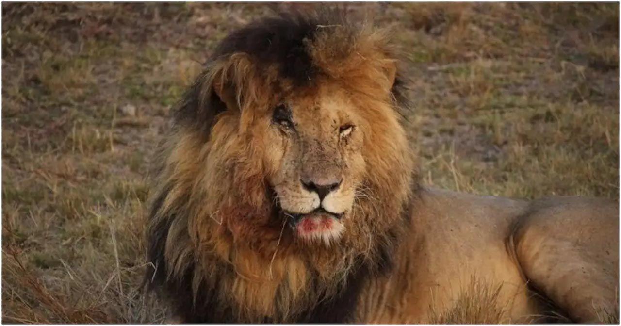 Dünyanın en ünlü aslanı Scarface, hayatını kaybetti - Resim: 4