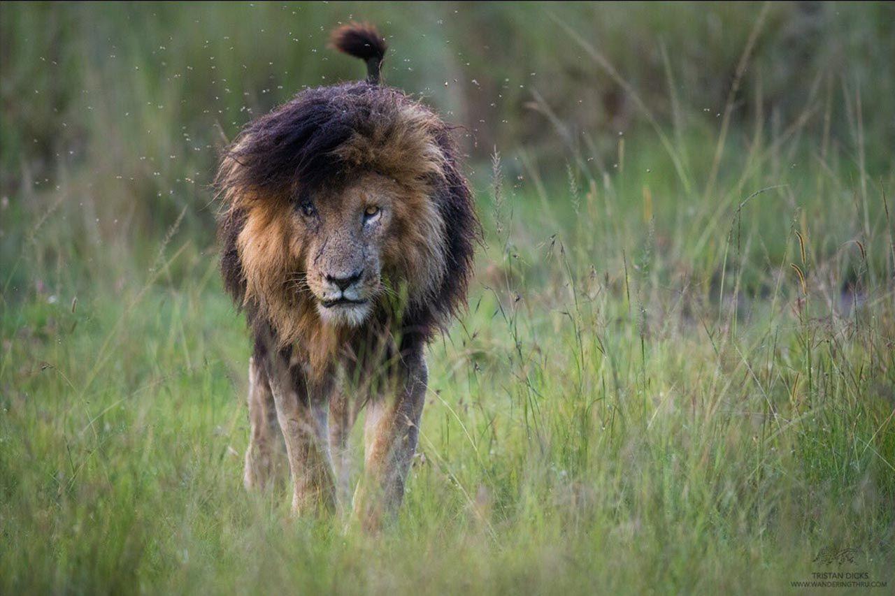 Dünyanın en ünlü aslanı Scarface, hayatını kaybetti - Resim: 3