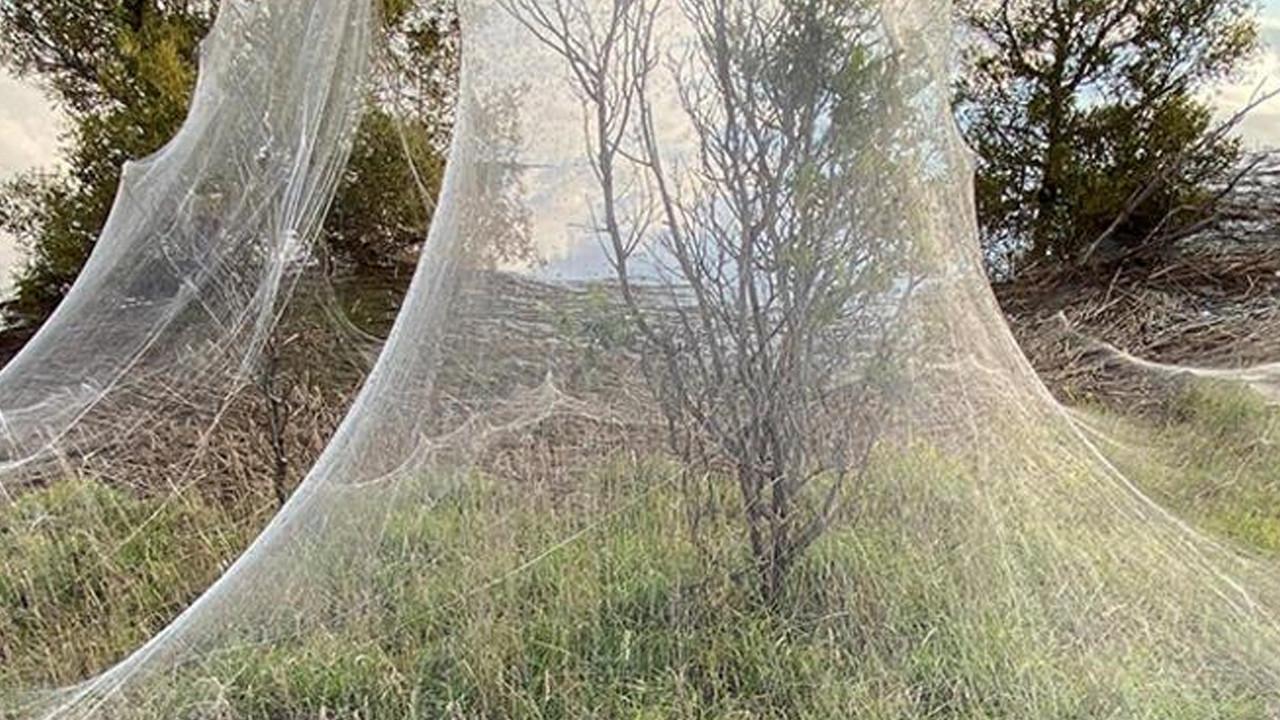 Örümcek istilası: Bir bölgeyi daha esir aldı
