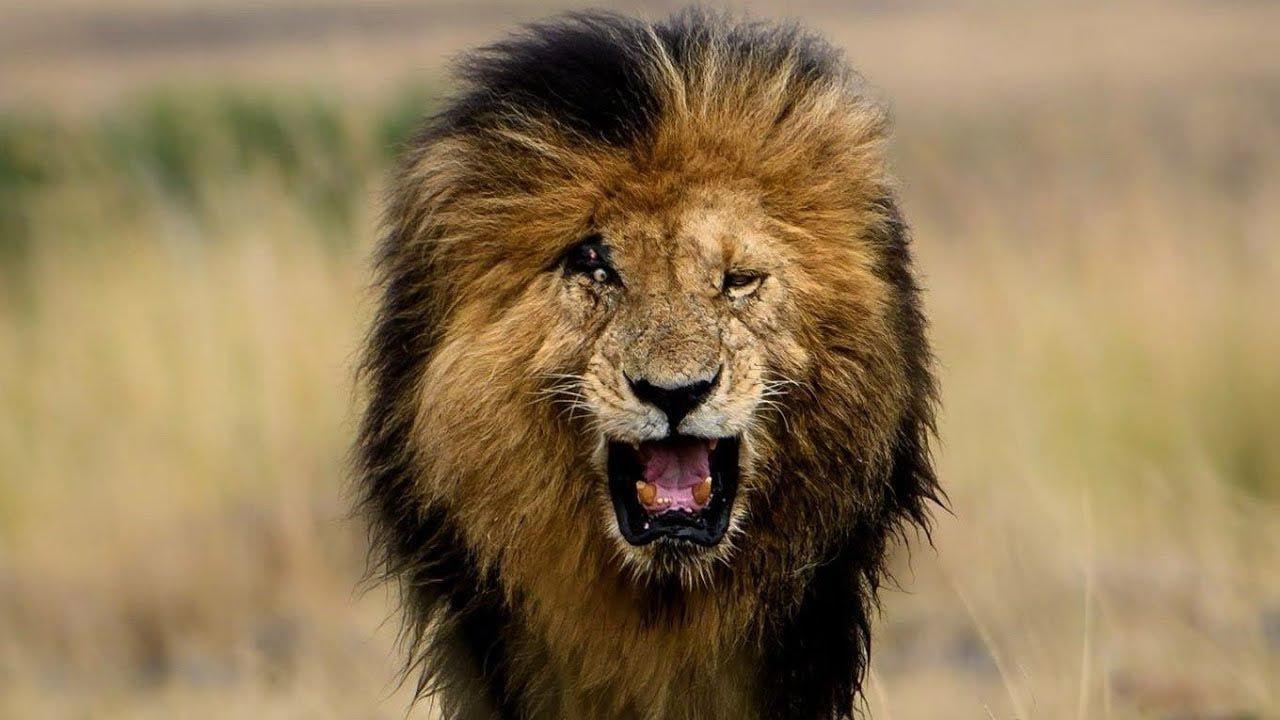 Dünyanın en ünlü aslanı Scarface, hayatını kaybetti - Resim: 1