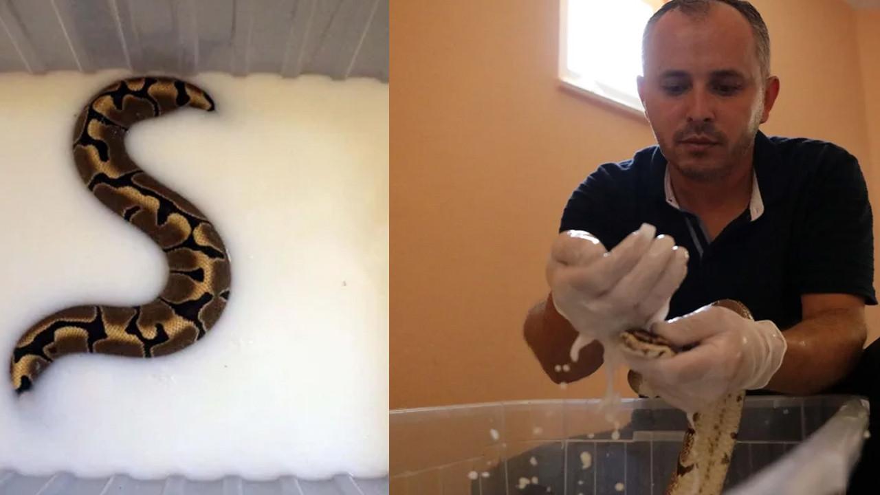 Yılanlara yapılan süt banyosu sosyal medyada olay oldu