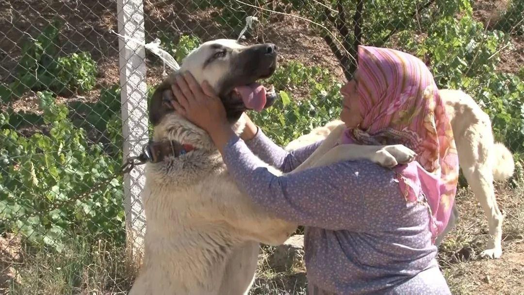 Anadolu ırkı çoban köpekleri fiyatlarıyla dikkat çekiyor - Resim: 1